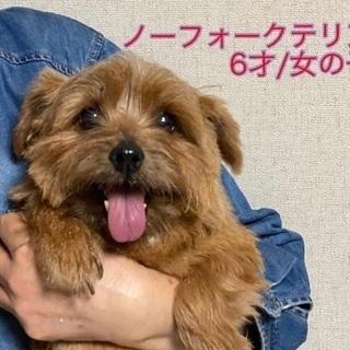 【ノーフォークテリア/女の子/6才】