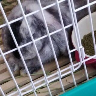 ウサギのロップイヤー女の子0歳里親募集
