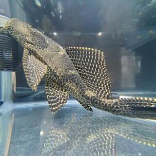 大型セルフィンプレコ 熱帯魚