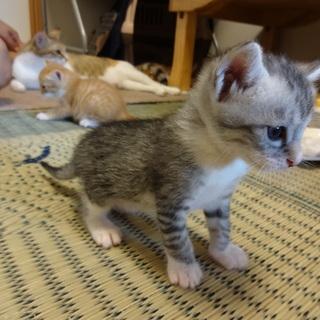 子猫★ 5月6日生まれ 茶トラ系 4匹、 キジ 1匹 初め…