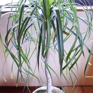観葉植物 ポニーテール (トックリラン ノリナ)元軸回り約70㎝