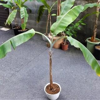 観葉植物  レッドタイガーバナナ ②