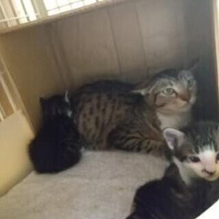 親子二匹以上の募集、一才母猫と4/25生子猫