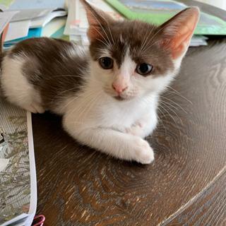 7月で1歳になる猫の里親さん無事に見つかりました。ありがとうございました。 - 木更津市