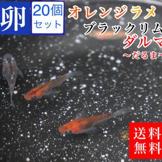 メダカ オレンジブラックリムダルマ 卵20コプラスα 送料無料 ...