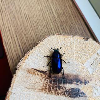 パプアキンイロクワガタ 幼虫