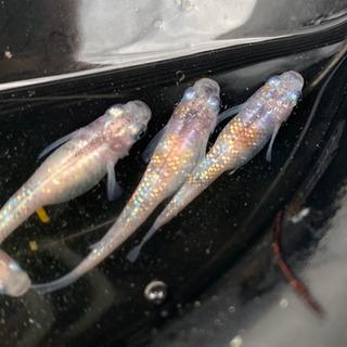 3色ラメ メダカ  10匹セット