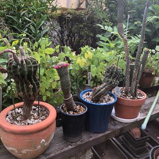 サボテンなどの鉢植え 空鉢