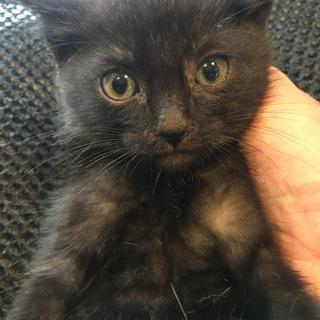 生後約3ヶ月ぐらい子猫:黒虎:黒ですが若干縞模様あり オス