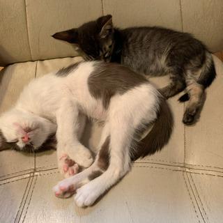 7月で1歳になる猫の里親さん無事に見つかりました。ありがとうございました。 - 猫