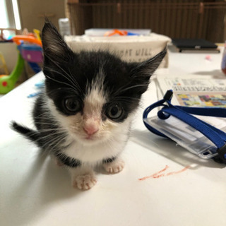 (急募!)生後2ヶ月の仔猫ちゃん