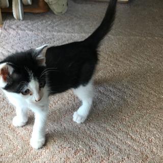 白黒のオスの子猫(おそらく2ヵ月位)