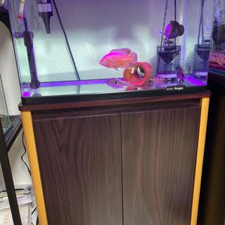 60L ガラス水槽 水槽台 生体 セット コトブキ