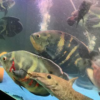 オスカー 熱帯魚欲しい方。10/24更新しました。引き取り希望(...