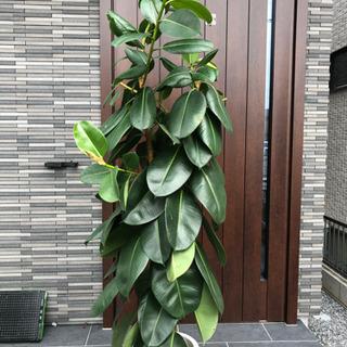 観葉植物 大型 大きいサイズ