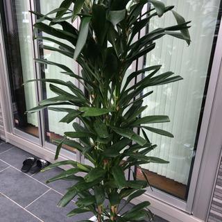 観葉植物 大きいサイズ 大型サイズ インテリア