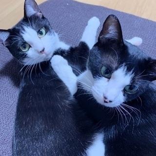 里親募集 2歳姉妹猫
