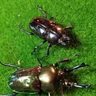 ニジイロクワガタ特殊カラー幼虫10匹