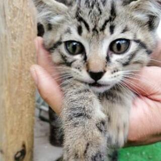 大網白里▪オスの子猫 キジトラ2020年4月10日生まれで…