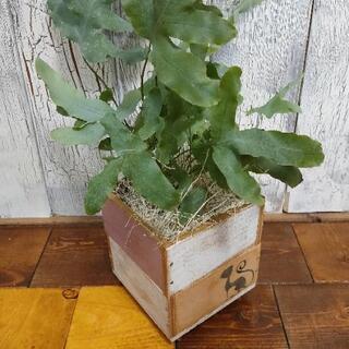 【観葉植物】フレボディウム ブルースター