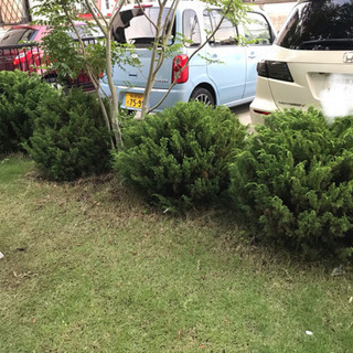 タマイブキ 4株 庭木