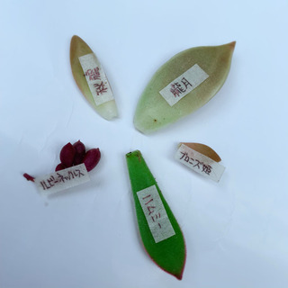 ★期間限定SALE★ 多肉植物 葉挿しの5種セット【名前つき】②