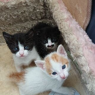 4/30生まれの3匹の子猫  (応募多数のため一時休止)