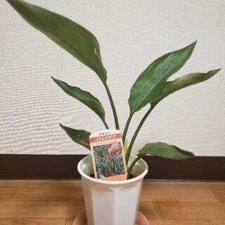 観葉植物 ストレリチア レギネ 田町(芝浦側) 随時対応可能