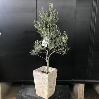 [良品]オリーブ・オヒブランカ約H140cm