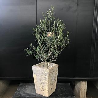 [良品]オリーブ・コラティーナ約H120cm