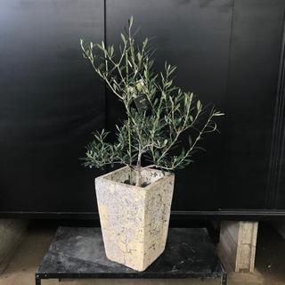 [良品]オリーブ・アザパ約H120cm