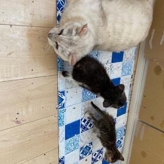 薄茶色混じりの白猫(妊婦)