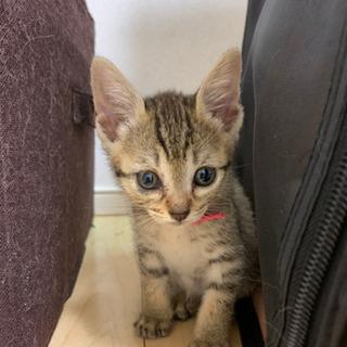 【里親募集】生後1ヶ月のキジ猫の女の子