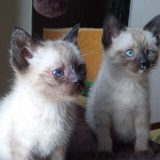 生後1か月のシャム猫兄弟です