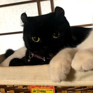 アメリカンカールmix 猫エイズキャリア