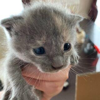 生後2週間(推定)の子猫メス