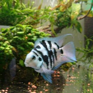ブルータイガーパロット 稚魚 3㎝位