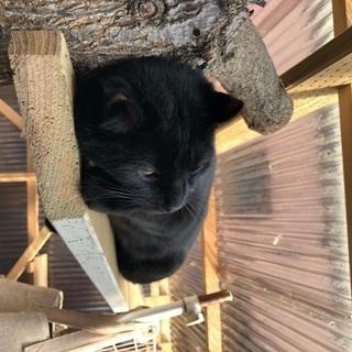 11ヶ月 穏やかで大人しい黒猫