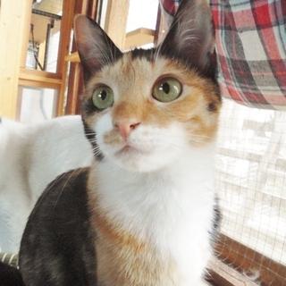 動画あり★顔よし性格よし小柄な三毛猫 ジュンコ♀ 8ヶ月前後