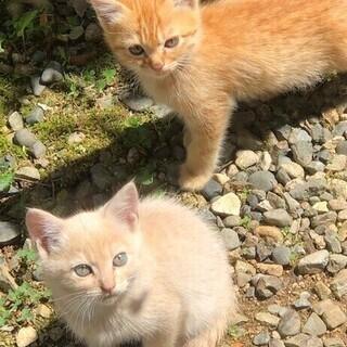 (募集終了)生後2か月、チャトラ(オス)子猫もらってください。