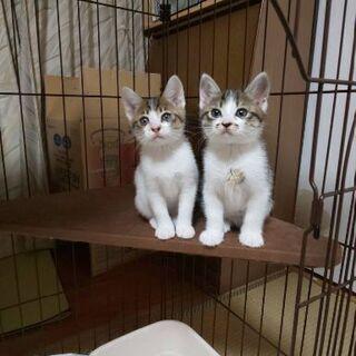 活発で仲良しのキジシロ兄妹子猫2ヶ月
