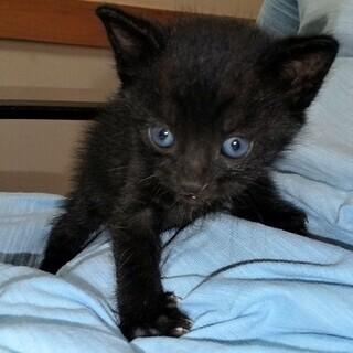 黒猫(子猫)の引き取りていませんか。雄猫