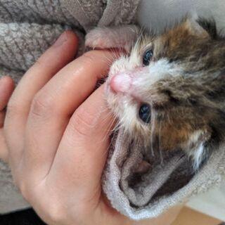 生後2週間ほどの赤ちゃん猫です