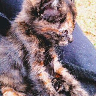 抱っこ大好きサビ子猫です