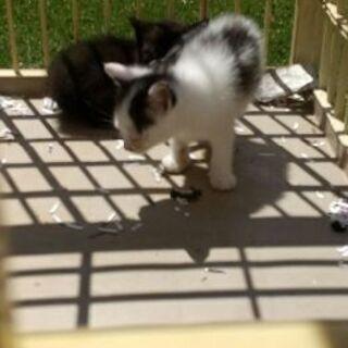 (一旦募集中止します)生後2か月未満の子猫の里親募集します(4匹)