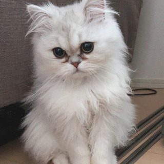 ペルシャ♂ 生後9ヶ月