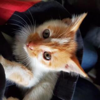 子猫 保護猫 生後2ヶ月半 里親さん募集 茶白 オス