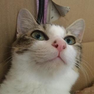 [決定しました]生後8カ月雉白の女の子。子猫と一緒に迎えて下さる方。