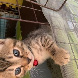 子猫1ヶ月半 ★アメショ柄★ オスメス3匹ずつ 6匹います!