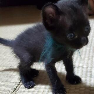 甘えん坊の黒猫ちゃん里親募集(代理)の画像